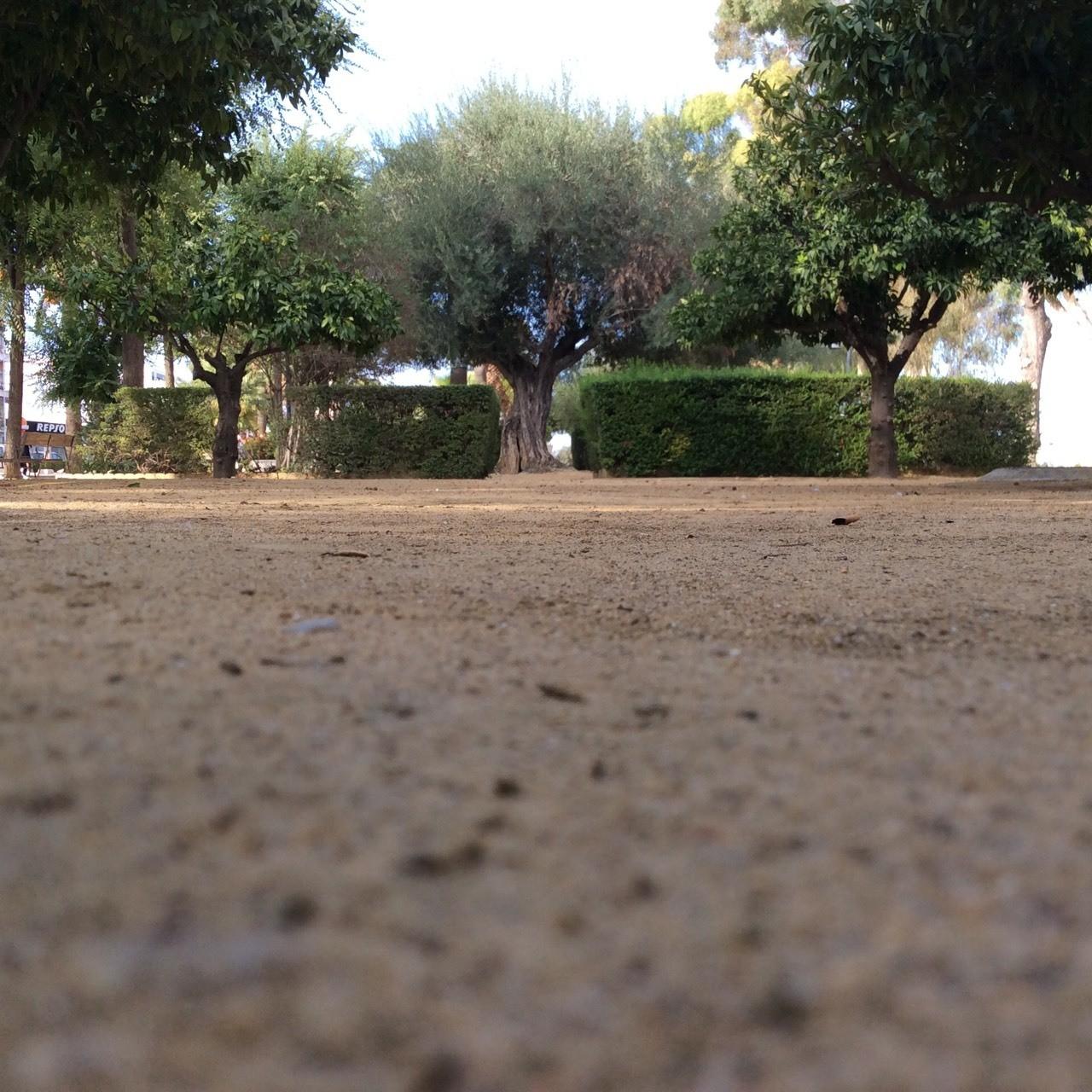 Uno de los olivos del Parque San Pablo