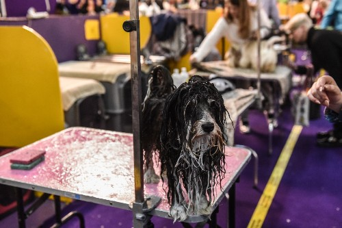 Westminster Dog Show in Pictures