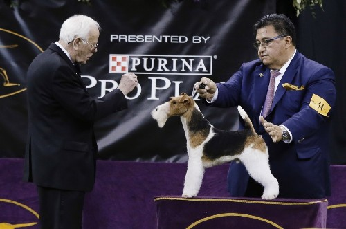It's the Wire Fox Terrier at Westminster: Pictures from the Dog Show