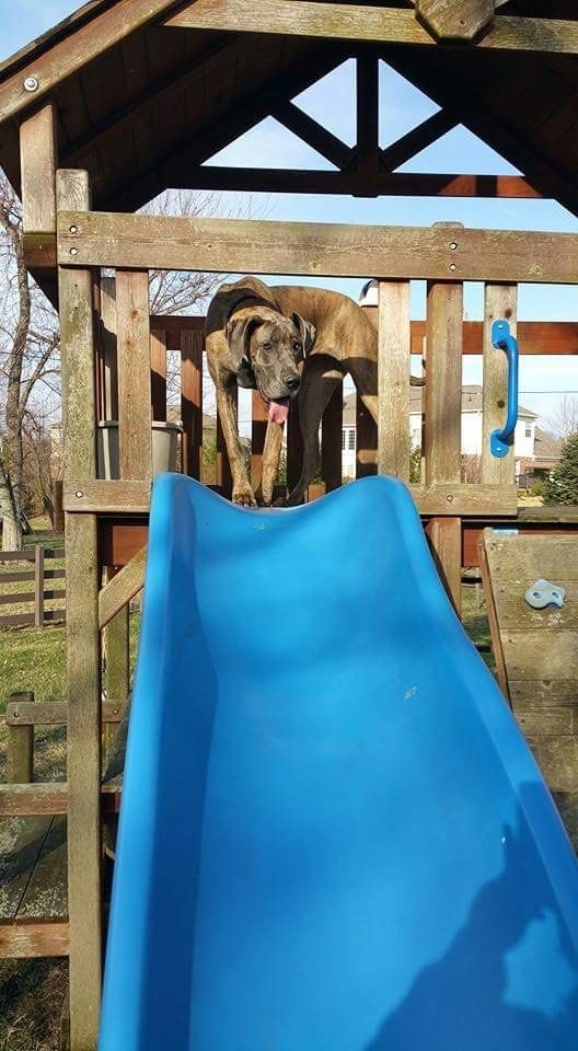 Great Dane not aware that she is not a kid and does not belong on a playground