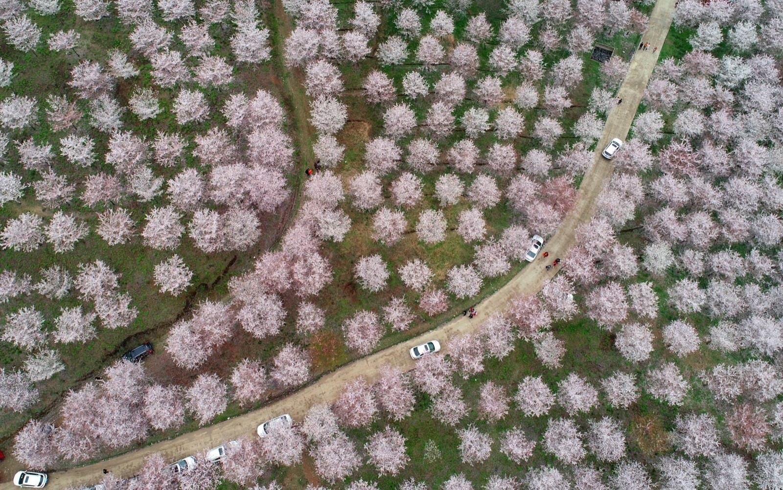 Planet Lockdown, Pictures of the Week and Cherry Blossom Season