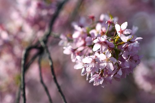 It's Cherry Blossom Season: Pictures