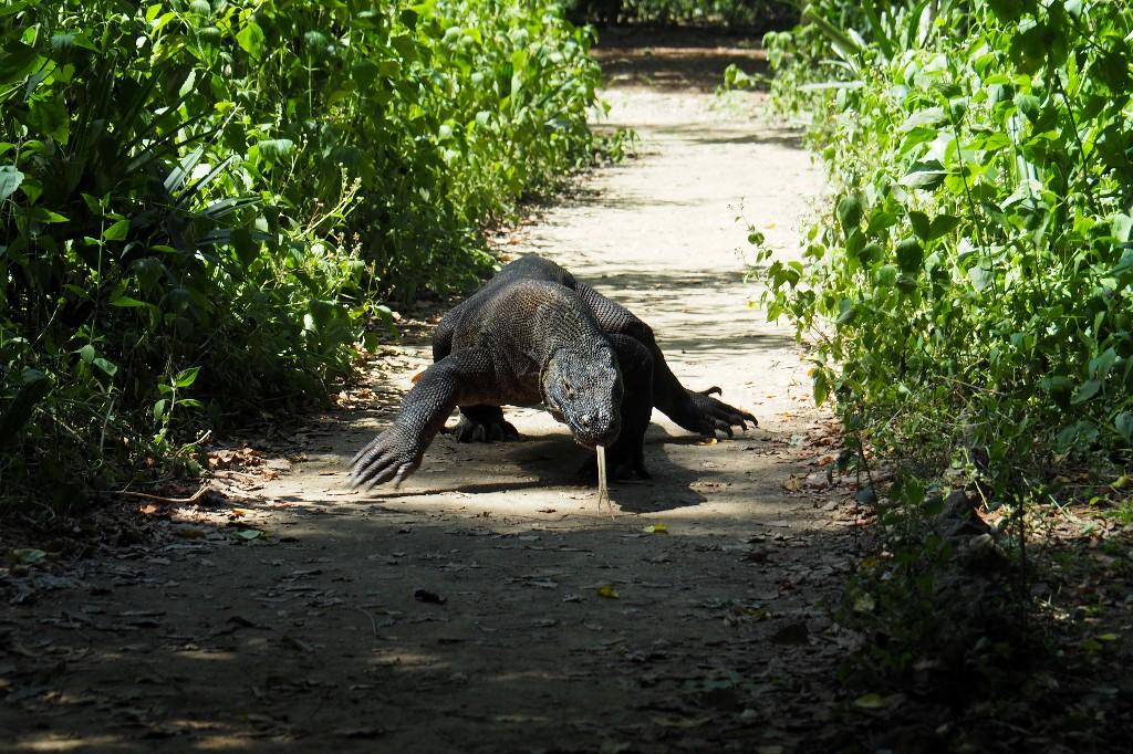 Indonesia says 'Jurassic Park' project no threat to Komodo dragon