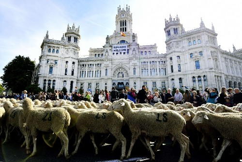 Sheep Parade Through Central Madrid: Pictures