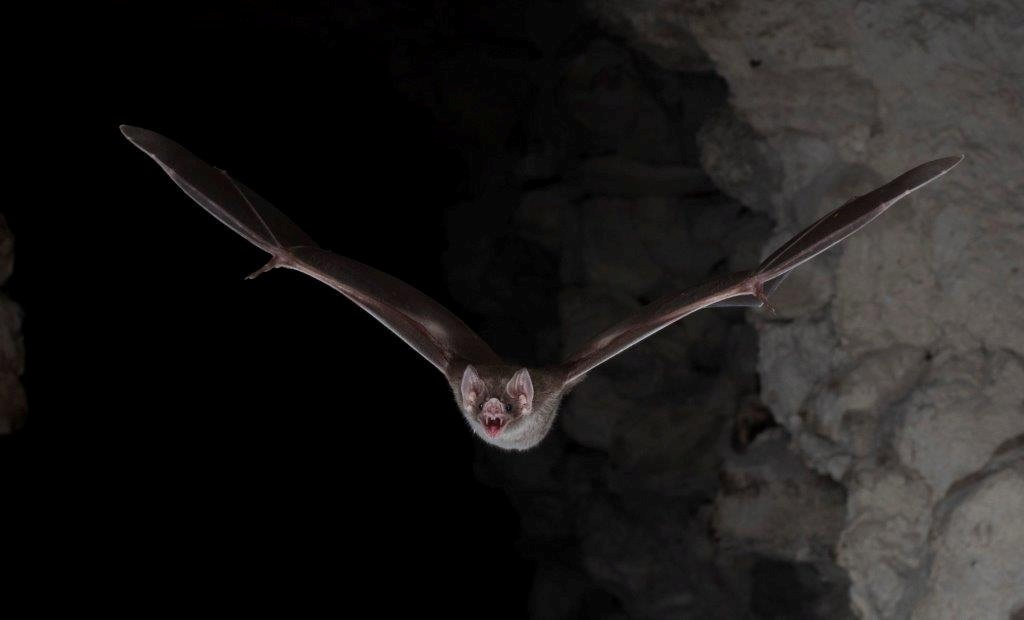 I want to drink your blood: Vampire bat's genetic secrets revealed