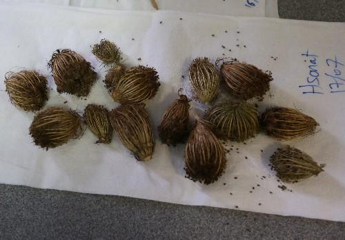 How good is Lebanese cannabis? Scientists seek herbal remedies