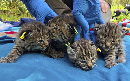 Bobcat survives deadly California wildfire, has 4 kittens