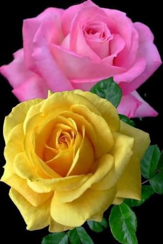 Roses - Magazine cover