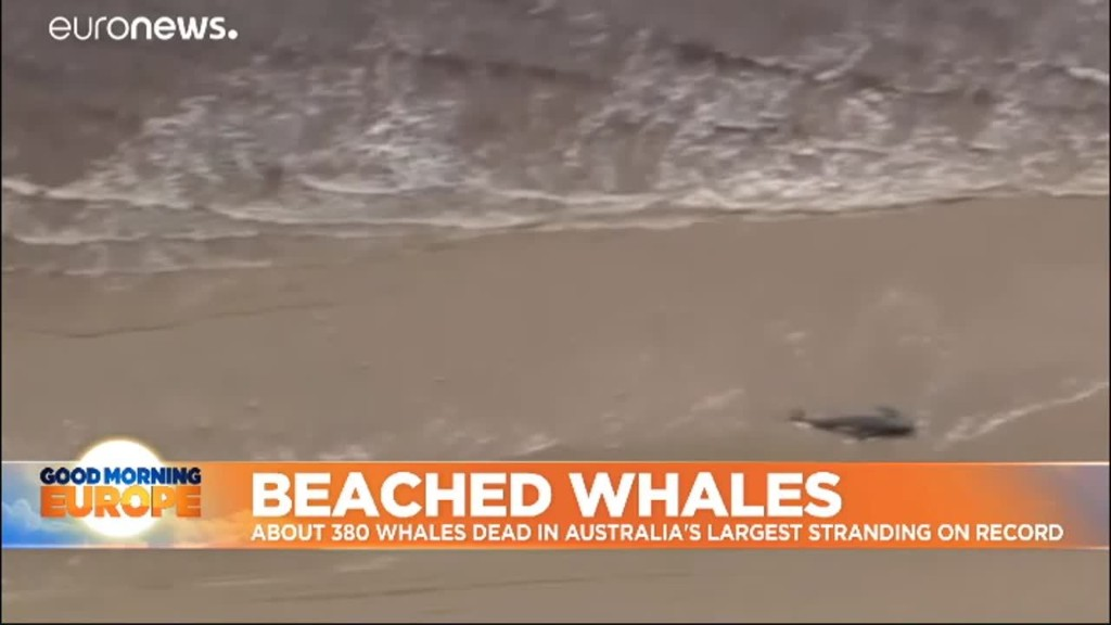 Australia's beached whales: 200 more animals die in one of the biggest strandings on record