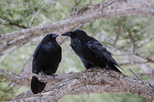 Ravens Are Evolving, and Not in the Way You'd Expect