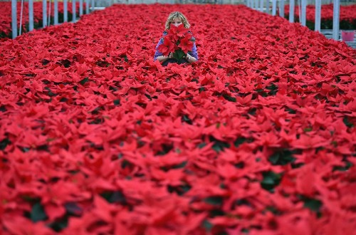 Poinsettia Plants Prepared for Christmas Distribution in Scotland: Pictures