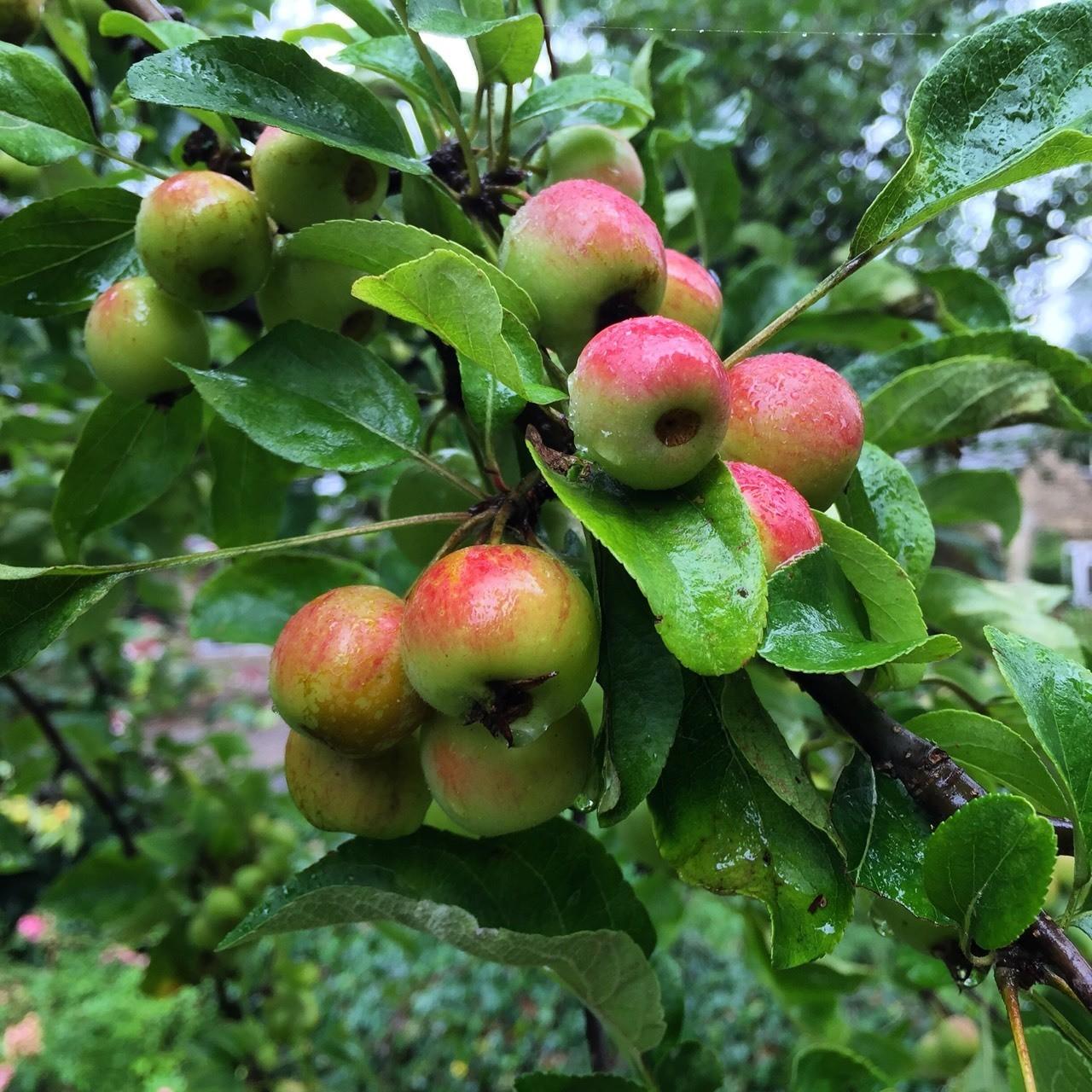 Shelbourne apple Orchard