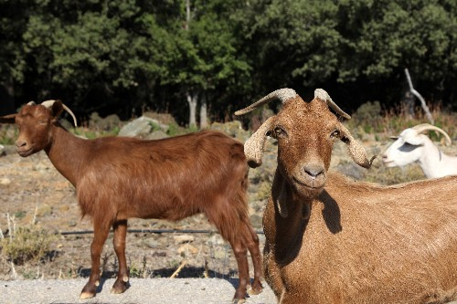 Tens of thousands of goats munch Greek island into crisis