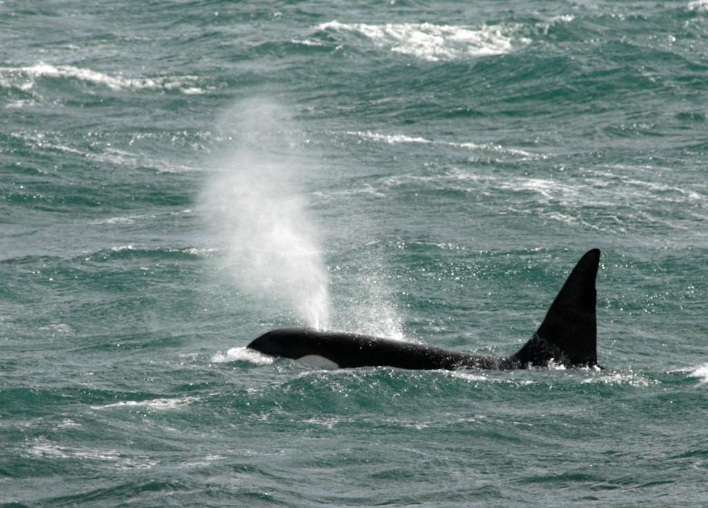 Spanish coastguard bans small sailboats after damage from orcas