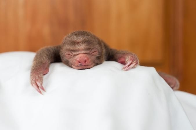 This is a newborn two-toed sloth.