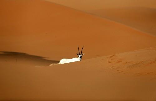 Desert Wildlife in the United Arab Emirates: Pictures