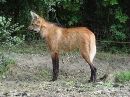 El aguara guazu vive únicamente en Argentina , y es el canido mas grande de America Del Sur.