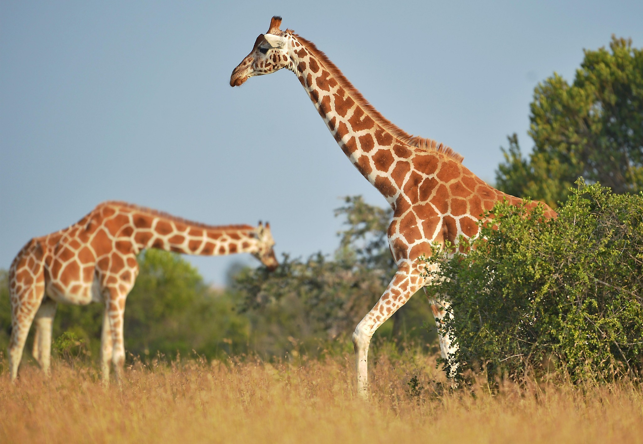 Giraffe facing extinction after devastating decline, experts warn