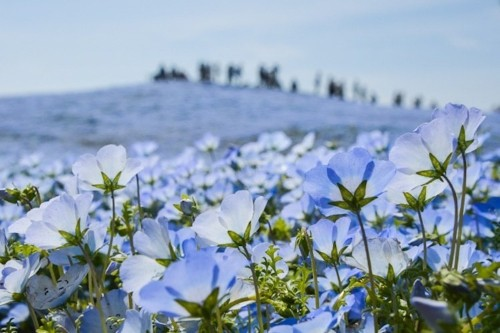 4.5 Million Blue Flowers Bloom Across Japanese Park Like a Field of Fairies