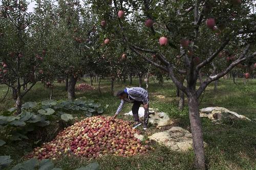 Apple economy latest casualty in strife-torn Kashmir