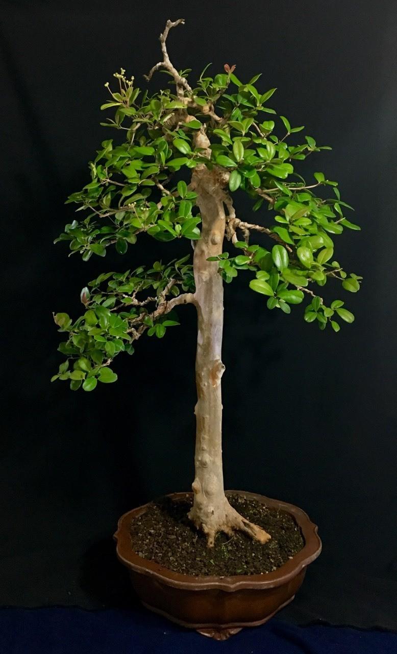 Eugenia xerophytica