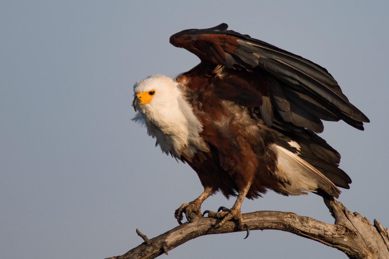 Africa Fish Eagle in Kruger National Park.