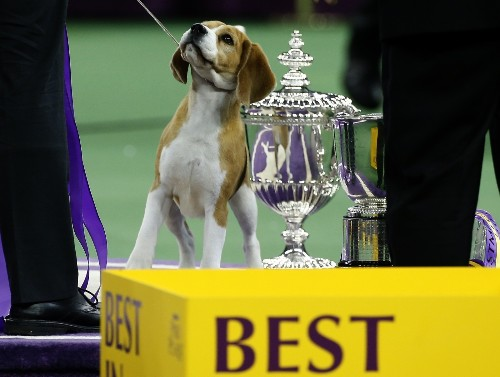 The Beagle Is Best in Show: Pictures