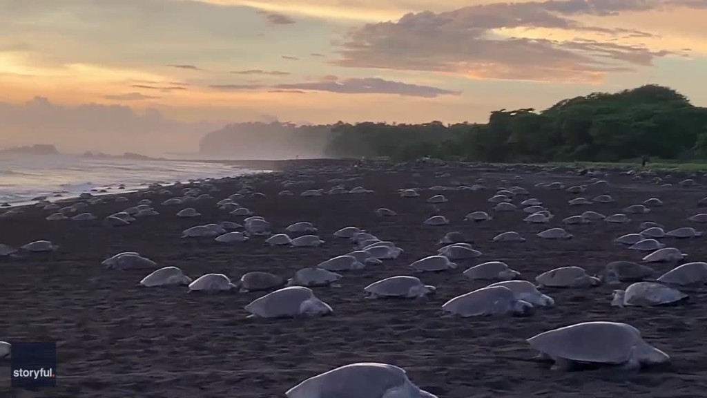 Hundreds of Sea Turtles Cross Costa Rican Beach for Mass Nesting