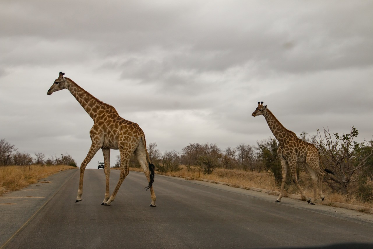 What an incredible sight. Two Giraffes crossing the road in Kruger National Park South Africa.