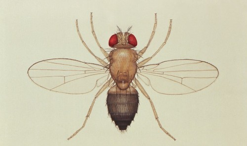 Consider the Fruit Fly