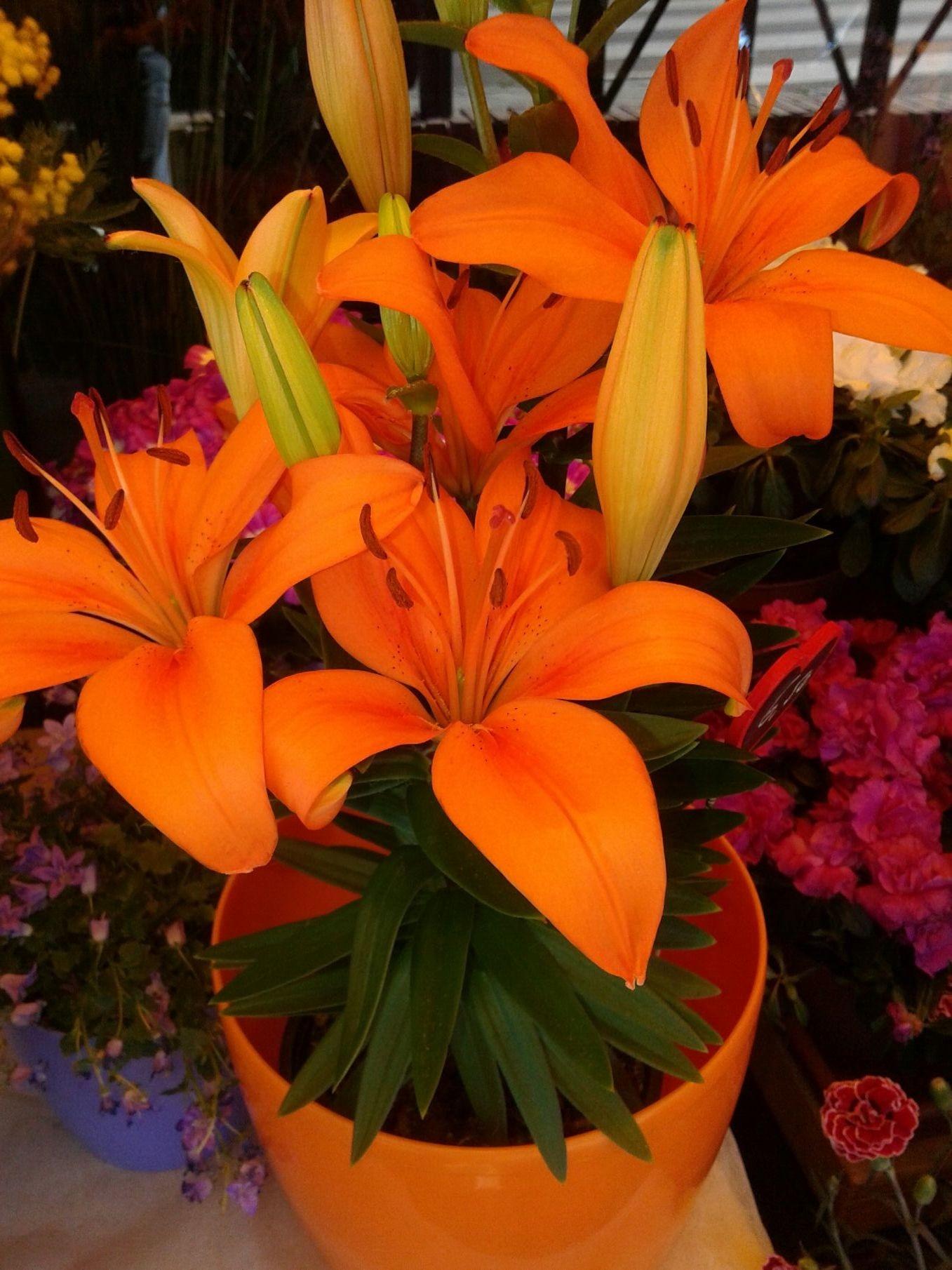 Un Lilium naranja. Un símbolo más bonito que el # naranjito. Esperanza para los #ciudadanos