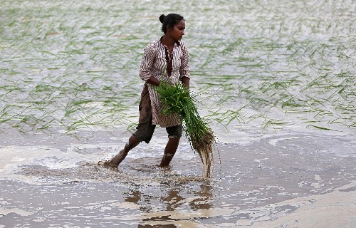 India's summer crop acreage down 2.3%, sowing gap narrows