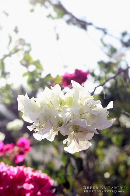 يا صباح الورد