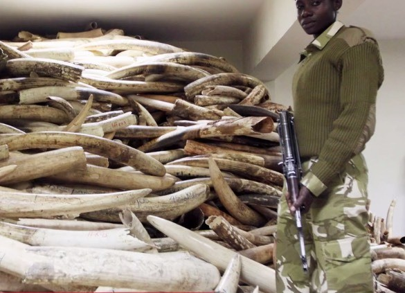 When you buy something made of ivory, where does the money go?