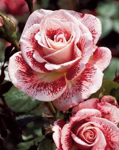 Flores Y Mas Flores - Titel