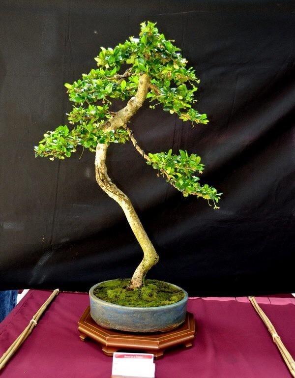 Erethia macrophylla