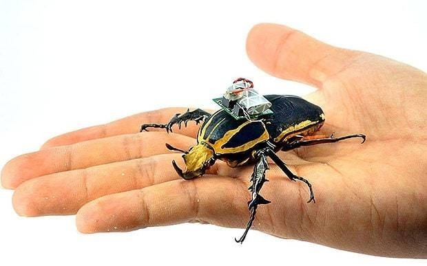 Flying beetle remotely controlled by scientists