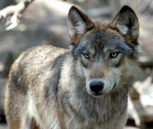 House passes bill to drop legal protections for gray wolves