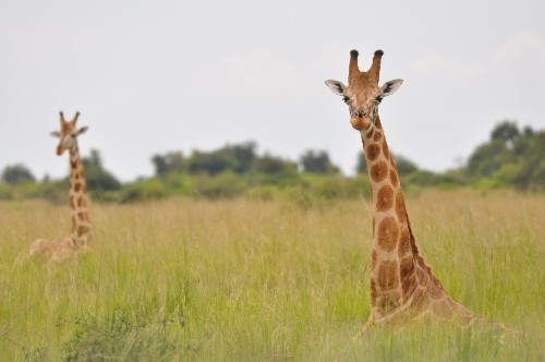 Tall tale: study reveals that giraffes are four species, not one