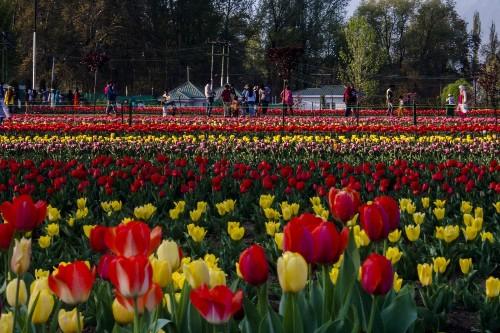 Asia's Largest Tulip Garden in Bloom: Pictures