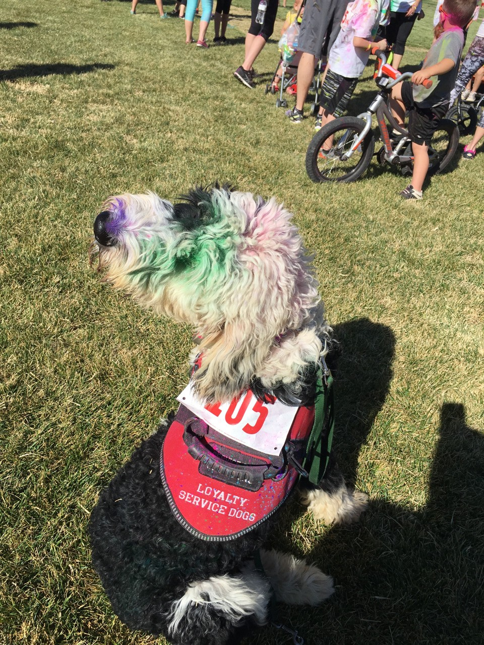 Guess what this sheepadoodle service dog in training did today?