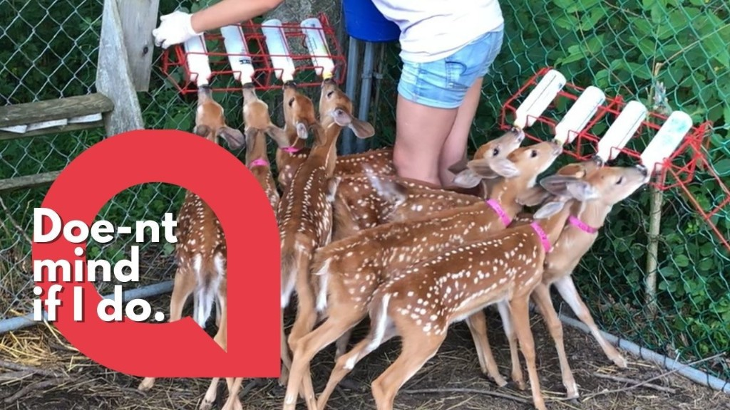 Baby deers congregate around a wildlife sanctuary to drink milk