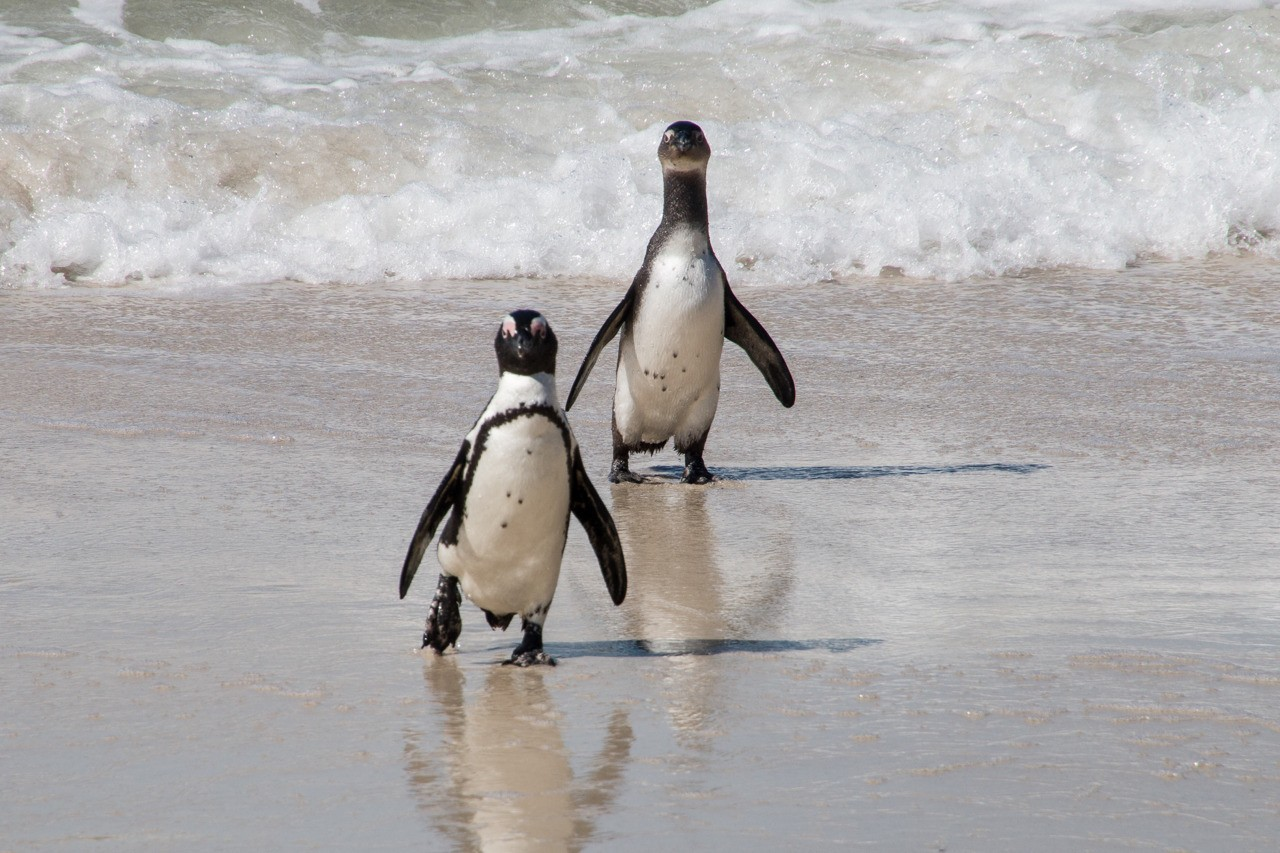 Cape Town South Africa. All photos by Carol S Bock and Denise A Callahan. Two Penguins at Boulders Beach.