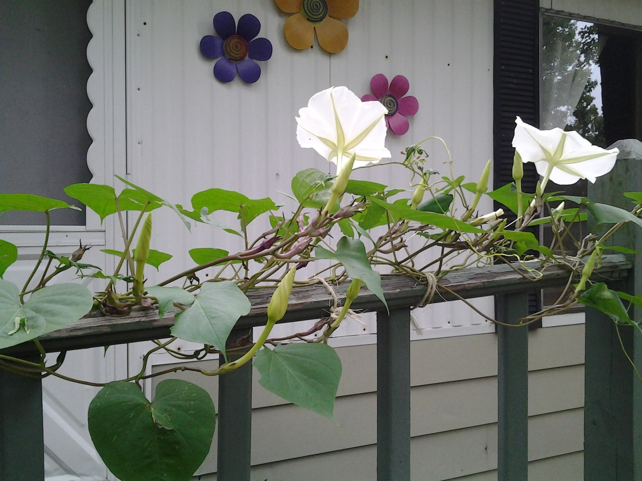 Moonflowers in the daytime...cloudy cool day