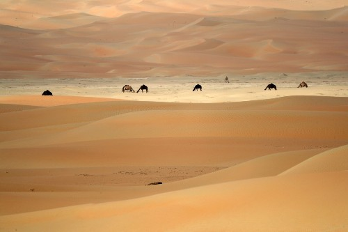 Camel Crossing Near Abu Dhabi: Pictures