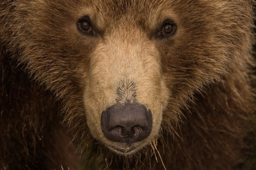 Photographer Spends Years Capturing Incredible Up-Close Photos of Brown Bears