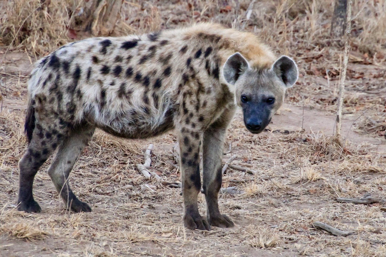 Hyena hanging out near its den.