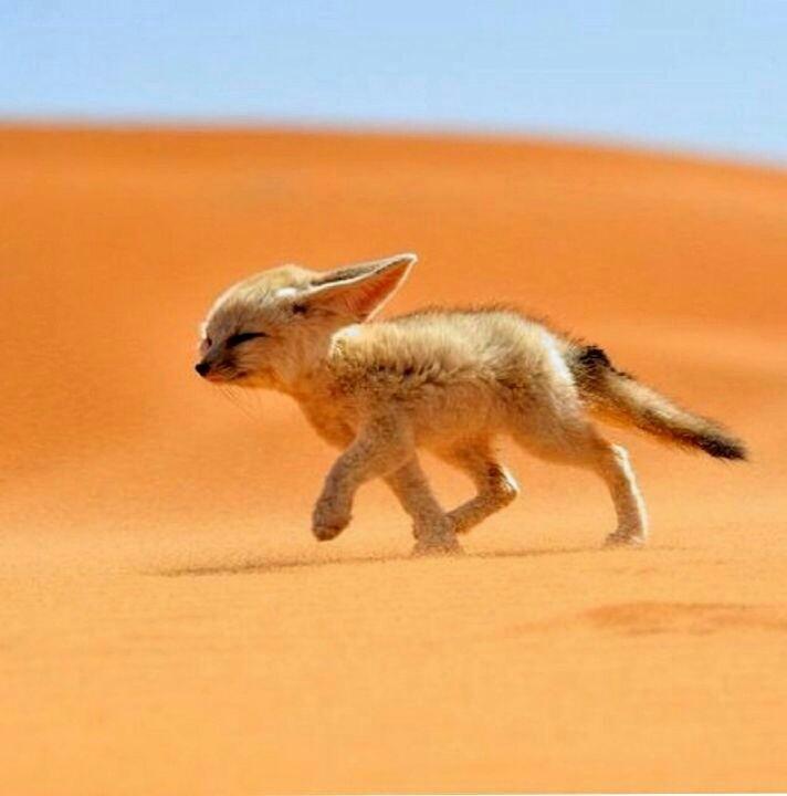 Arabic  Fox - cover