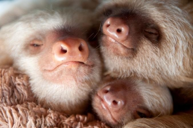 These two-toed sloths, Kermie, Ellen, and Pelota, are snuggled together in the nursery. The nursery is ran by Kids Saving the Rainforest.