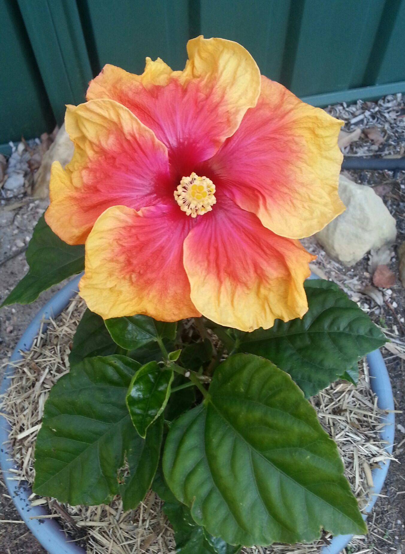 Hibiscus, beautiful flower. '' PEACH MELBA